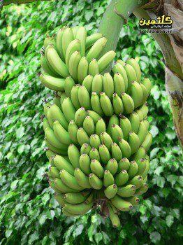 bananas-tree