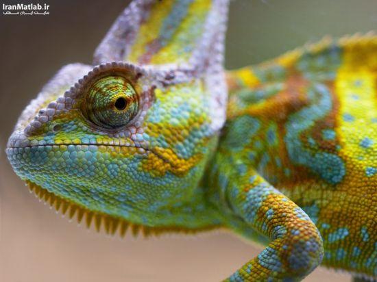 معرفی حیوانات (آفتاب پرست) + عکس, pic