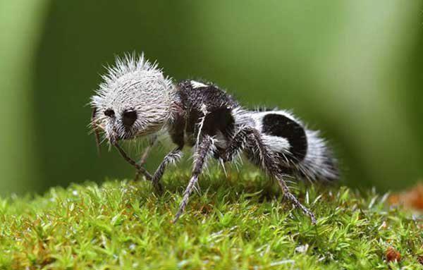 مورچه پاندا با نیش بسیار دردناک, pic
