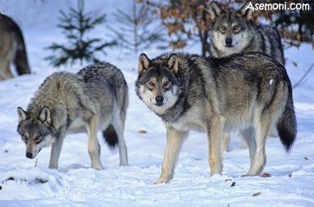 آیا گرگ انسان نما یا انسان گرگ نما وجود دارد؟, ماورای طبیعت