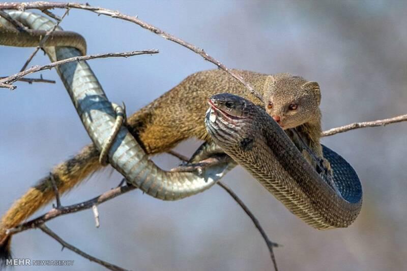 تصاویر شکار مار به دست موش صحرایی, حیوانات