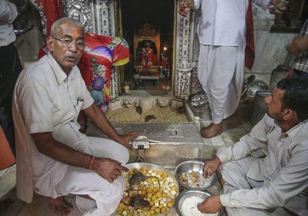 عکس های عجیب و چندش آور معبد 20000 موش مقدس