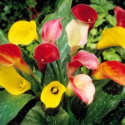 طریقه کاشت گل شیپوری, نحوه تکثیر گل شیپوری