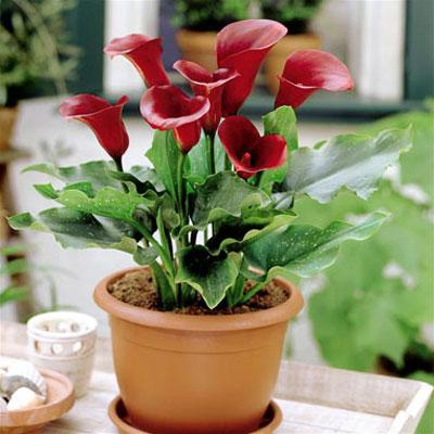 گل شیپوری,روش نگهداری گل شیپوری در منزل,نحوه نگهداری گل شیپوری