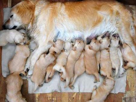 نحوه زایمان سگ ها, نحوه کمک به سگ بعد از زایمان