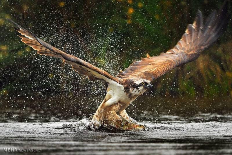 تصاویر شکار ماهی توسط عقاب, حیوانات