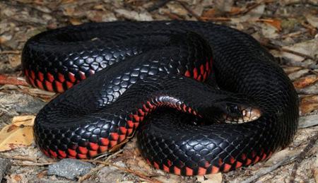 شناخت مرگبارترین جانوران استرالیایی, کشنده ترین جانوران استرالیا