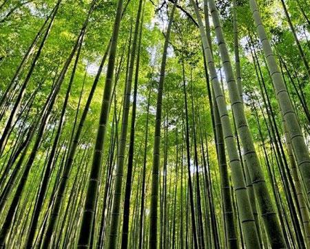 عکس های جنگل بامبو در ژاپن