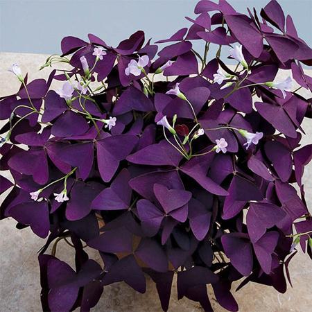 نگهداری از گل اکسالیس, تصاویر گل اکسالیس