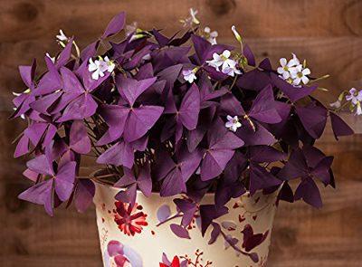 طریقه کاشت پیاز اکسالیس, نگهداری از گل اکسالیس