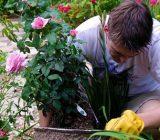 نکاتی برای پرورش و نگهداری گل رز