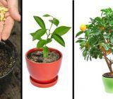 درختانی که با هسته میوه ها رشد می کنند