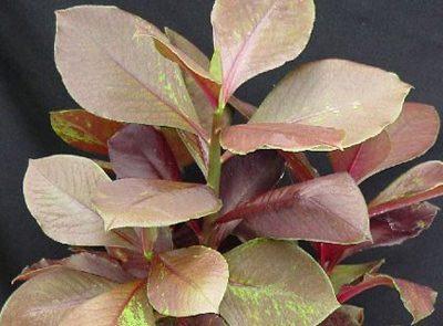 نگهداری و پرورش سینادنیوم گرانتی ( فردوس ), دانستنیهای گیاهان و حیوانات
