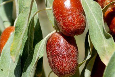 خواص سنجد + خواص پودر سنجد, خواص مواد غذایی