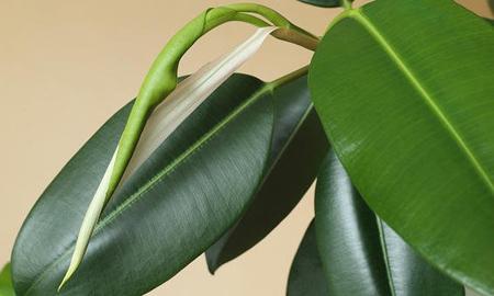 نحوه آبیار ی گیاه لاستیکی,جالب ترین گیاهان آپارتمانی