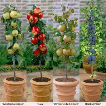 درختان میوه گلدانی