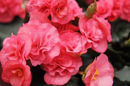 کاشت و نگهداری از گل ها در تراس و بالکن,گیاهان مخصوص بالکن