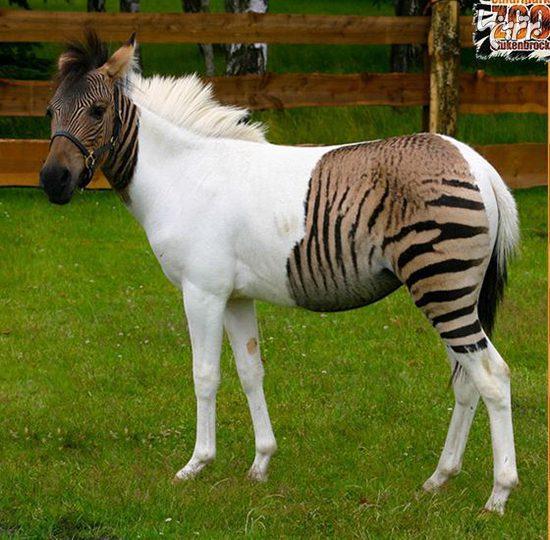 حیوانات دورگه عجیبی که واقعا وجود دارند!, حیات وحش