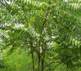 آشنایی با درخت عرعر