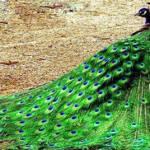 داستانک پر زیبا دشمن طاووس