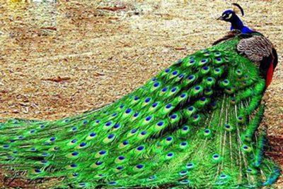 داستانک پر زيبا دشمن طاووس, ایران
