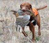 احکام شکار با سگ شکاری چست؟