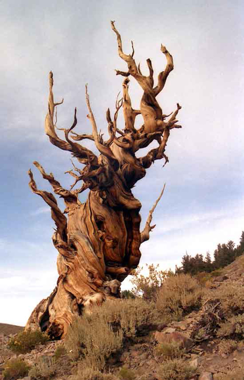 پیرترین درخت جهان را کجا میتوان دید؟