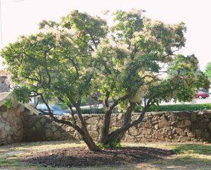 آشنایی با درخت پر + عکس, خواص مواد غذایی